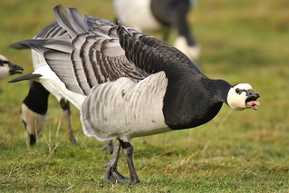The Barnacle Goose (Branta leucopsis) This one was a very grumpy bird indeed !
