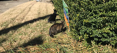 """Don't stay in bed, unless you can make money in bed."" ―George Burns 🐈 🐈 (anokarina) Tags: appleiphone7 highlands louisville kentucky ky outside outdoors cats pets animals kitty kittens kitties shadows sign"