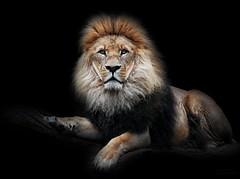 EDEL & STOLZ/NOBLE & PROUD (babsbaron) Tags: nature tiere animals katzen cats raubkatzen grosskatzen bigcats löwen lions tierpark hamburg hagenbeck canon säugetiere mammals raubtiere predators