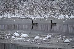 Sloppy, Sticky, Slippery Snow. (Steve InMichigan) Tags: winterscene winter snow snowycreek creek canadiangeese waterfowl birds