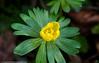 Aconites 3 (margaretc1946) Tags: aconite wildflower gloucestershire pentaxk3 tamron90mmf28macrolens