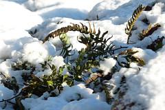 Stensöta (evisdotter) Tags: stensöta polypodiumvulgare fern ormbunke vintergrön winter light sooc