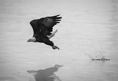Eagle Fishing in Black and White (Dramatic Edit) (TroyMarcyPhotography.com) Tags: 20windchill action americanbaldeagle beautiful bird canon400mmf56l canon7d cloudy illinois iowa january mississippiriverbaldeagles2018 overcast cold nature wildlife