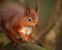 Red Sqirrel 7397(6D3) (wildlifetog) Tags: red southeast squirrel alverstone isleofwight uk mbiow martin blackmore britishisles britain british canon england european eos6d nature wild wildlifeeurope wildlife