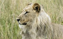 The King (paul.ralphs) Tags: lion nature safari africa cat bigfive gamereserve grass bigcat wildlife canon canon7d