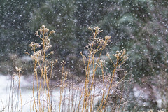 Snowfall (brucetopher) Tags: snow snowing snowfall snowstorm storm snowflake snowflakes winter cold snowy wintry scene landscape forest woods yard clearing