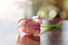 """Ne me quitte pas..."" (Elisafox22) Tags: elisafox22 sony ilca77m2 100mmf28 macro macrolens telemacro tulip pink petals sunshine light shadow backlit bokeh hbw bokehwednesday table tabletop stilllife flower indoors elisaliddell©2018"