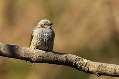 Brown eared bulbul (Teruhide Tomori) Tags: ヒヨドリ 京都 日本 野鳥 野生動物 自然 鳥 bird brownearedbulbul winter nature kyoto japan japon animal wild