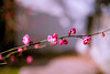 Winter Branch (moaan) Tags: kobe japan inbloom ume umeblossom blossoming cold chill dof depthoffield bokeh bokehphotography leoca mp leicamp type240 summicron50mmf20dr leicasummicron50mmf20dr 50mm f20 utata 2018