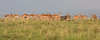 A herd with a pig (Thomas Retterath) Tags: adventure wildlife abenteuer masaimara afrika africa kenya safari natur nature thomasretterath warthog warzenschwein suidae pflanzenfresser herbivore säugetier mammals animals tiere phacochoerusafricanus aepycerosmelampus impala bovidae schwarzfersenimpala coth5