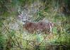 Whitetail Deer Buck - Nature Framed (Patti Deters) Tags: deer whitetail antlers horns male animal wildlife grass fur fourlegs mammal summer wild lookingatcamera whitetaildeerbucknatureframed