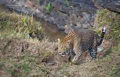 A male leopard coming up a river bank (WhiteEye2) Tags: leopard wildlife nature bigcats masaimara kenya africa