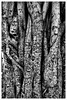 Banyan Tree (michaelvhurley) Tags: xpro2 fujifilm lahaina maui hawaii blackandwhite banyantree