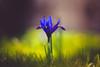 Hydra (der_peste) Tags: flower spring bloom green grass meadow lawn bokeh dof dephtoffield shallowdepthoffield depthoffield blur bokehlicious sonya7m2 sonya7ii samyang1352 135mm f2