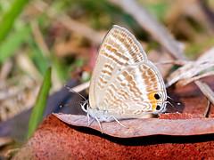 Pea Blue (chaz jackson) Tags: lampidesboeticus peablue longtailedblue lycaenidae polyommatinae insect butterfly thailand nature blue macro pea