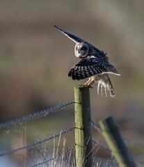 Short-eared owl (Andy Davis Photography) Tags: asioflammeus owl hunting perched flight landing marsh estuary coast winter canon morning explored