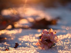 C H A S E   T H E   L I G H T (Vivi Black) Tags: outdoor outside winterwonderland forest light colors angle crystals ice bokeh wintef sunset flower