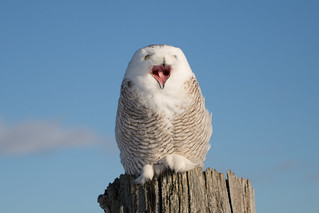 Snowy Owl (Explore 18-2-17)