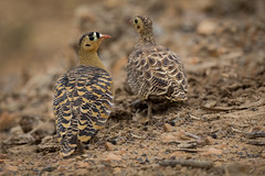 Painted Sandgrouse | Pterocles indicus (Paul B Jones) Tags: india paintedsandgrouse pteroclesindicus infinityresorts rannofkutch bhuj gujarat canoneos5dmarkiv ef800mmf56lisusm nature wildlife चिड़िया indiya इंडिया inde indien indië asia asian tourist tourism travel ecotourism indian maleandfemale pair