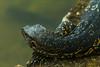 afternoon nap (xBRKAx) Tags: asian vater monitor varan lizard sleep kandy lake sri lanka travel photogaphy