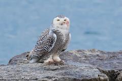 Needs a face & foot wash (rdroniuk) Tags: birds raptors owl birdsofprey owls snowyowl snowyowlirruption buboscandiacus oiseaux oiseauxdeproie rapaces hibou hiboublanc harfangdesneiges