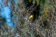 2017 Lesser Goldfinch (DrLensCap) Tags: temecula california lesser goldfinch ca bird robert kramer
