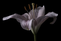 Pink And White Lily In The Light (Bill Gracey 18 Million Views) Tags: lily fleur flower flor color colorful colors homestudio blackbackground mirror sidelighting macrolens shapes shadows textures yongnuo yongnuorf603n softbox filllight translucent petals nature naturalbeauty lakeside