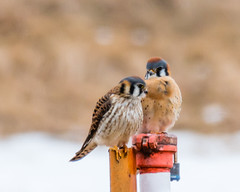 Long shot... (ragtops2000) Tags: falcon kestrel american perched pair couple longshot winter snow cold together raptor small colorful amazing
