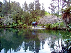 New Plymouth. The big lake in Brooklands Park and Gardens. Cherry blossom time. (denisbin) Tags: taranaki newplymouth thegables house gothic botanicgardens brooklandspark lake tree ferns cherryblossom