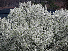 Pear Tree Blossoms. (dccradio) Tags: lumberton nc northcarolina robesoncounty outdoors outside tree trees nature natural peartree decorative decorativepeartree branches treebranches branch stick sticks treelimbs treelimb blossoms bloom flower floral flowers floweringtree flowering canon powershot elph 520hs afternoon sunday sundayafternoon aerial