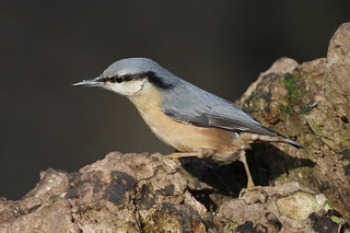 IMGP7761c Nuthatch, Lackford Lakes, Febraury 2018