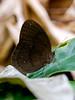 Common Faun (chaz jackson) Tags: commonfaun fauniscaneus nymphalidae morphinae butterfly insect thailand faun