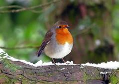 Robin in the park (soxstripy Joe 1954) Tags: winter natureinwinter wildlife barnesparksunderland