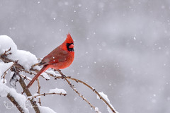Red and White (dbifulco) Tags: nature snowing bird cherrytree male newjersey northerncardinal red snow tree wildlife winter