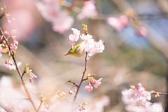 _DSC0773.jpg (plasticskin2001) Tags: mejiro sakura flower bird