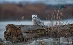 Snowy Owl (salmoteb@rogers.com) Tags: bird wild outdoor nature wildlife perch water tree snowy owl