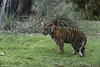 Tiger Cub (Find The Apex) Tags: disney waltdisneyworld wdw disneyworld disneysanimalkingdom dak animalkingdom maharajahjungletrek sumatrantiger tiger jedaandanala jeda anala