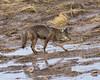 Hunting (dan.weisz) Tags: coyote sweetwaterwetlands desert tucson