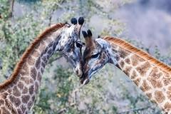 Giraffes (mayekarulhas) Tags: giraffes canon southafrica safari wildlife wild herbivore krugernationalpark