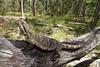 Pogona barbata (nicgambold) Tags: agamidae dragon bearded nsw australianwildlife reptile