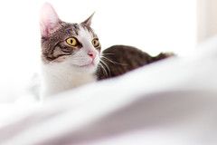 bright (thethomsn) Tags: cat white bed indoors bright portrait animal pet thethomsn