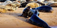 Aggressive seals. (artanglerPD) Tags: two aggressive seals sand ythan estuary