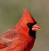 Northern Cardinal close up (graemeclark61) Tags: cardinal nj backyard red macro