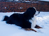 Snow dog. (billhume51) Tags: snow bernese berner dog winter scotland ayrshire