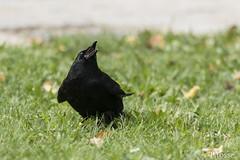 20171021_Vincennes_Corneille noire (thadeus72) Tags: aves birds carrioncrow corneillenoire corvidae corvidés corvuscorone oiseaux passériformes