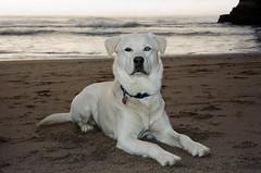 Blue on Cooks Beach - Olympus Stylus 100 WIDE (mju-III WIDE 100) - Ultramax 400 (divewizard) Tags: kodak ultramax 400 ultramax400 gc400 film analog película analógica color c41 35mm olympus stylus100wide mjuiiiwide100 mjuiii μiii wide 100 stylus compact ncps northcoastphotographicservices chrisgrossman handsomedog happydog portrait bigdog goberian goldenhusky goldsky whitedog dog whitegoberian cooksbeach gualala mendocinocounty california beach sand rocks surf ocean water sea waves pacific pacificocean coast clouds seafoam cliff cove shore shoreline blue heterochromia sectoralheterochromia goldenretriever siberianhusky heterochromiairidis heterochromiairidum perro cão chien hund 犬 собака 狗 hond כלב الكلب σκύλοσ