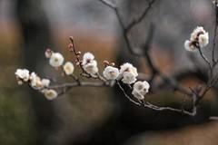 _DSC5328 (kymarto) Tags: bokeh bokehlicious bokehphotography dof depthoffield flowers flowerphotography nature naturephotography beauty beautiful sony sonyphotography sonya7r2 oldlens vintagelens dallmeyersupersixanastigmat ume plum blossoms plumblossoms