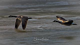 Golden Wings Take Flight
