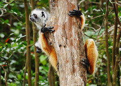 Diademed Sifaka (Propithecus diadema) (Susan Roehl) Tags: madagascar2017 islandofmadagascar offtheeastcoastofafrica andasibemantadianationalpark diademedsifaka propithecusdiadema animal mammal herbivore lemur endangered livesinrainforests oneofthelargestlemurs 41incheslong longsilkyhair mostwidelydistributed endemic diethighinenergy troopsof2to10 eatsover26typesofplants diurnal eatsfruit flowers seeds leaves athletic arboreal predatorsfossas crocodiles femaledominant oneoffspringperfemale sueroehl photographictours naturalexposures panasonic 100400mmlens handheld cropped tree forest propithicusgenus coth5 ngc
