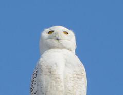 Snowy Owl 2014 (Jim McCree) Tags: nycteascandiaca snowyowl hampdenmaine 2014 irruption april